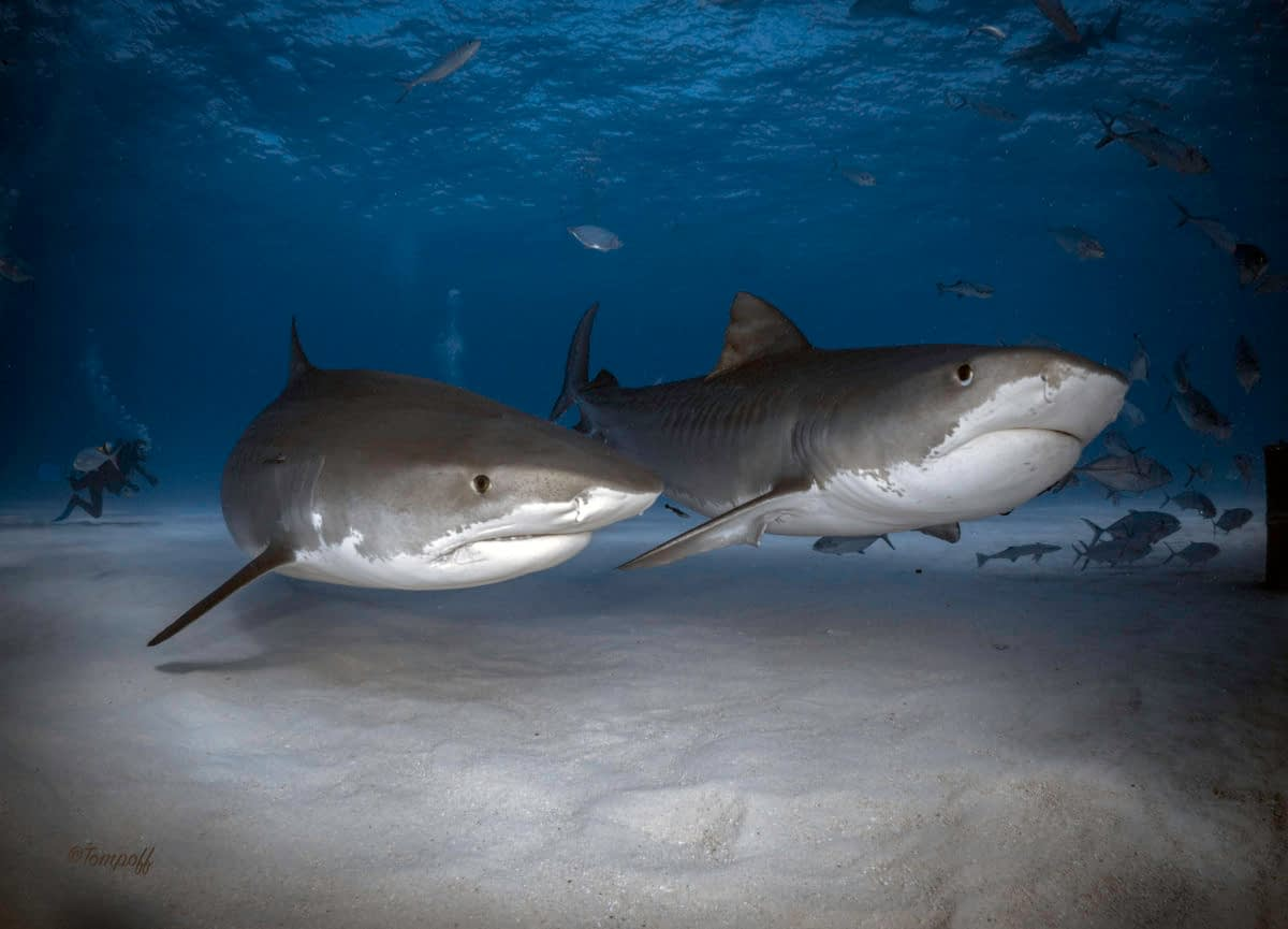 two tiger sharks tiger beach